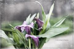 Calla Zantedeschia (Maite Rodríguez Photography) Tags: flowers flores calla zantedeschia