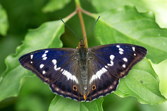 Groer Schillerfalter  Purple Emperor Apatura iris (Bluesfreak) Tags: insekten schmetterlinge tagfalter groserschillerfalter purpleemperor apaturairis butterfly insects lepidoptera unterfranken taubertal