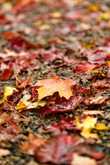 Wet Leaves (MikeWeinhold) Tags: newengland newburyport massachusetts foliage leaves fall autumn 24105mm 105mm macro colors outdoors