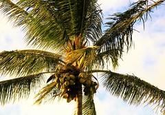 palm tree (joybidge (0n vacation)) Tags: trishcanada naturepatternscanada mauihawaii palmtrees