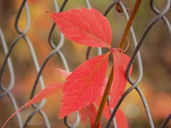 Autumn fence HFF! (NaturewithMar) Tags: autumn fallcolors fence leaves macro ladybug hff bokeh dof happyfencefriday leaf october nikoncoolpix l330