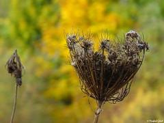 vertrocknet (MacroManni) Tags: wiesenblume samenstand herbst seed