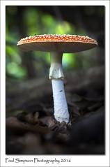 Fly Agaric Mushroom (Paul Simpson Photography) Tags: paulsimpsonphotography photosof photoof sonyphotography sonya77 naturephotos november2016 imageof imagesof mushroom mushrooms flyagaric fungi fungus toadstool woodland toadstools fairytale