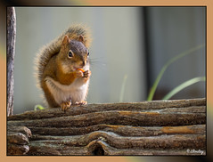 cureuil d'Amrique (LBoulay) Tags: cureuil squirrel wildlife