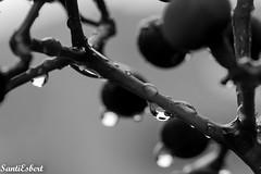 IMG_8409 (SantiEsbert) Tags: macro monocromatico bw byn raindrop nature artistic almiruete campo countryside guadalajara
