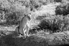 Lioness (domturner) Tags: africa lioness kenya wildlife monochrome predator cat samburu safari blackandwhite animal lion