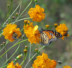 Monarch & bees in wild cosmos - last week (Vicki's Nature) Tags: monarch butterfly orange brown spots stripes cosmos wildflowers blossoms bees etowahriverpark canton georgia vickisnature canon s5 9922 returnnc