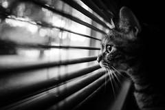 peeking (Jen MacNeill) Tags: cat blackandwhite bw kitty cats venetianblinds blinds peeking peek leading lines light