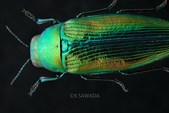 Eurythyrea tenuistriata Lewis,1893 (kenta_sawada6469) Tags: nature japan specimen coleoptera buprestidae insect insects bug bugs jewel jewelbeetle beetle beetles colors metallic green blue