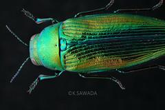 Eurythyrea tenuistriata Lewis,1893 (kenta_sawada6469) Tags: nature japan specimen coleoptera buprestidae insect insects bug bugs jewel jewelbeetle beetle beetles colors metallic green blue