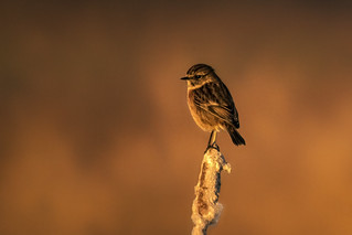 Roodborst tapuit, dame/Stonechat, girl (#Explored 05-12-2016)