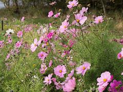 Cosmos bipinnatus (Jeroen Hillenga) Tags: bloemen flowers texel natuur nature netherlands nederland roze pink berm cosmos cosmea cosmosbipinnatus