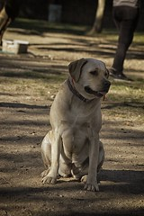 DSC_0057 (Harlum) Tags: boxer germanshepherd lab dogpark wolfhybrid husky malamute nikon nikond100 nikond5100 dogs