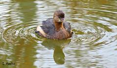 Least Grebe (Suzanham) Tags: leastgrebe canonpowershotsx60hs divingbird grebe waterbird bird lake swamp mississippi noxubeewildliferefuge waterfowl thegalaxy