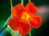 In the Japanese Garden (12bluros) Tags: flora flower floral canonef100mmf28lmacroisusm newyorkbotanicalgarden nybg nasturtium tropaeolum