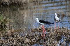 _MG_8540 LR flickr.jpg (Jean Louis BOUYER photographie) Tags: oiseaux échasse blanche échasseblanche