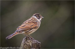 Reed Bunting (Charles Connor) Tags: leigh england unitedkingdom gb reedbunting tinybirds birds birdphotography uknature nature naturephotography canon100400lens canon7dmk11 flickrelite