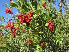 Rosaceae, Heteromeles arbutifolia, Toyon (aking1) Tags: heteromelesarbutifolia rosaceae toyon sandiego california unitedstates