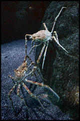 crabfight (Klaas5) Tags: dierenpark oceanografic animals dieren zoo dierentuin animalpark aquarium spidercrab