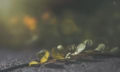against impossible odds (rockinmonique) Tags: macro light plant bokeh texture green gold moniquew canon canont6s copyright2016moniquewphotography