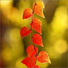 Autumn hearts... (Everest Daniel) Tags: autumn hearts red beautiful leaves nature