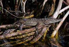 American Crocodile (Nick Scobel) Tags: american crocodile florida everglades crocodylus acutus threatened endangered species