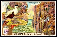 Liebig Tradecard S803 - Eider Duck (cigcardpix) Tags: tradecards advertising ephemera vintage liebig chromo birds
