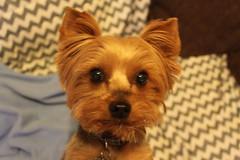 IMG_3269 (fschaub3) Tags: puppies puppy pets dogs yorkie shorkie pomchi