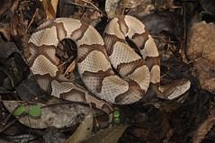 Southern Copperhead (J T Williams) Tags: texas snake venomous copperhead agkistrodon