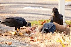 Black Vultures (tavarez.niurka) Tags: black vulture buitre coragyps atratus  geier   vautour abutre avvoltoio