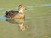 Hembra de Azulón (Anas platyrhynchos) (13) (eb3alfmiguel) Tags: aves acuaticas anade azulon hembra