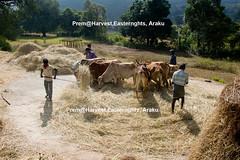 Mysterious-Morning-Raga--Araku--HarvestingMake-_Hay-while-Sunshine_-on-the-road- (prem swaroop) Tags: harvest crop cultivation tilling easternghats araku arakupicturepostcard aptourism travelindia andhrapradesh prem