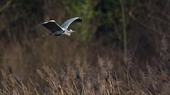 Graureiher 040 (bertheeb) Tags: graureiher reiher wasservogel