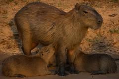Capybara With Babies (Barbara Evans 7) Tags: capybara with babies pantanal brazil barbara evans7 specanimal