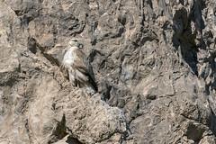 Wild tawny eagle (tmeallen) Tags: standing iran falcon unidentified camouflaged limestonecliffs lightcolored naqsherostam marvdahst