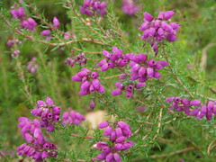 Bell heather (bryanilona) Tags: scotland woods fife ladybank fantasticflower abigfave bellheather
