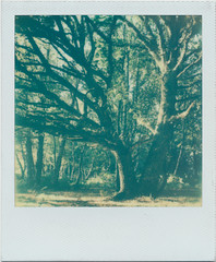 Do you have a favourite tree? I have a favourite tree 34 of 52 (matthewjoldfield) Tags: sunlight colour polaroid evening moss ride peaceful 600 heath slr680 interlude headleyheath nationtrust impossibleproject