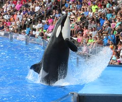Killer Whale_1781-crop (G Kirk) Tags: world ocean sea blackandwhite white fish black water one blackwhite orlando marine florida dolphin killer whale fl orca seaworld majestic mammals shamu killerwhale grampus centralflorida orcinus blackfish gkirk orcawhale oneocean canonsx50hs