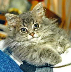 00387 (d_fust) Tags: cat kitten gato katze 猫 macska gatto fust kedi 貓 anak katt gatito kissa kätzchen gattino kucing 小貓 고양이 katje кот γάτα γατάκι แมว yavrusu 仔猫 का बिल्ली बच्चा