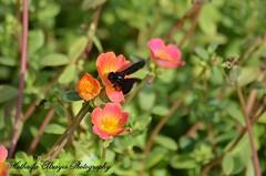 #UAE #dubai #dubai_creek_park #creek_park #flower #flowers #insect #insects #bee#bees #wasp #wasps #black_wasp #macro   #الإمارات #دبي #حديقة_الخور #حديقة_خور_دبي #أزهار #زهور #زهرة #حشرات #حشرة #دبور #دبابير #ماكرو # photography #myphoto#  #تصوير #تصويري (alrayes1977) Tags: flowers flower macro insect dubai wasp bees uae insects bee wasps myphoto الإمارات زهرة دبي تصوير حشرة تصويري creekpark blackwasp ماكرو زهور حديقةالخور أزهار حشرات فوتوغرافي dubaicreekpark دبور دبابير حديقةخوردبي