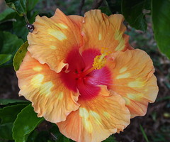 Like a sunset. (pstone646) Tags: plant flower nature flora close hibiscus