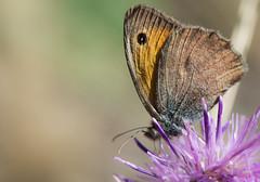 Le Misis - Hyponephele lycaon -   (michel lherm) Tags: papillons lpidoptres rhopalocres hyponephelelycaon lemisis