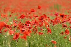 poppy field (maximilian.groeger) Tags: franconia poppyfield