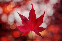 Autumn Beauty (fs999) Tags: paintshop pentax sigma paintshoppro f18 k5 corel 1835 aficionados pentaxist artcafe hsm sigma1835 80iso pentaxian ashotadayorso justpentax topqualityimage zinzins flickrlovers topqualityimageonly fs999 fschneider pentaxart pentaxk5iis k5iis sigmaart1835mmf18dchsm x8ultimate paintshopprox8ultimate