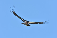 California Condor (Omar Rodriguez Suarez) Tags: california bird ave pajaro condor scavenger carroero