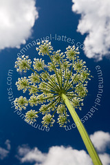 Ombelle d'anglique officinale (Angelica archangelica) en fleur au printemps. (Emmanuel LATTES) Tags: blue wild summer sky en cloud plant france flower nature fleur up weather plante de countryside spring stem branch view shot angle natural good low fresh bleu ciel concept t nuage temps tilt healing wildflower aromatic angelica edible campagne vue printemps herb herbal beau medicinal springtime herbe prise lowangle branche sauvage anglique inflorescence contreplonge umbellifer archangelica umbelliferae tige naturel umbel tiltup ombellifre ombelle aromatique mdicinale
