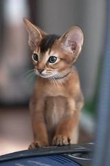 Abbassynian Kitten (wietsej) Tags: blue abbassynian kitten sony zeiss a900 135 18 sonnar 13518 za wietsejongsma