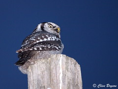 Northern Hawk Owl (216) (clive_bryson) Tags: canada eye animal post dusk britishcolumbia rare 43 shuswap northernhawkowl owlsofthepacificnorthwest clivebryson