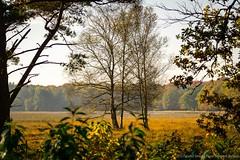 Birches near Hilversums Wasmeer (ParadoX_Design) Tags: autumn trees nature colors field automne bomen dof herbst herfst natuur samsung boom treeline veld natuurmonumenten nx11