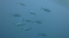 Mackerels at Dwejra Wall, Gozo (yayapapaya77) Tags: fish mackerel underwater diving malta fisch mediterraneansea gozo tauchen unterwasser dwejra mittelmeer makrele canonpowershotg15 dwejrawall